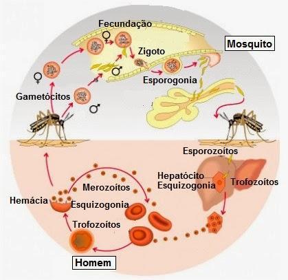 ciclo_malaria
