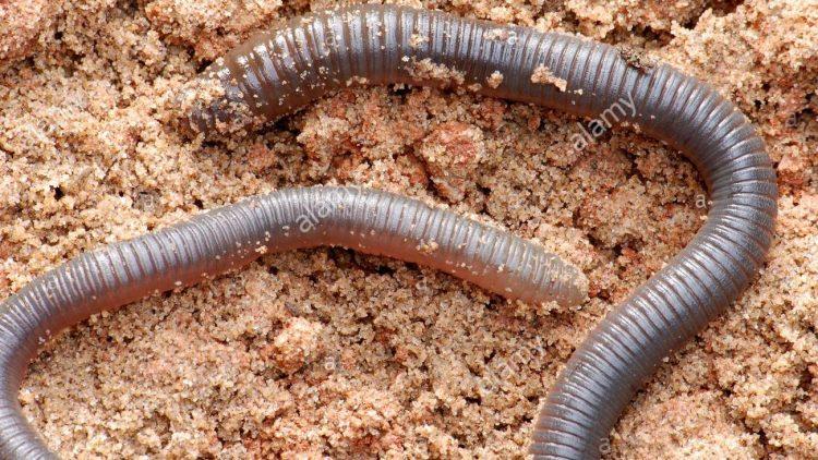 Assunto de Ciências da Natureza (Biologia) – Filo Annelida