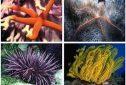 Assunto de Ciências da Natureza (Biologia) – Filo Echinodermata